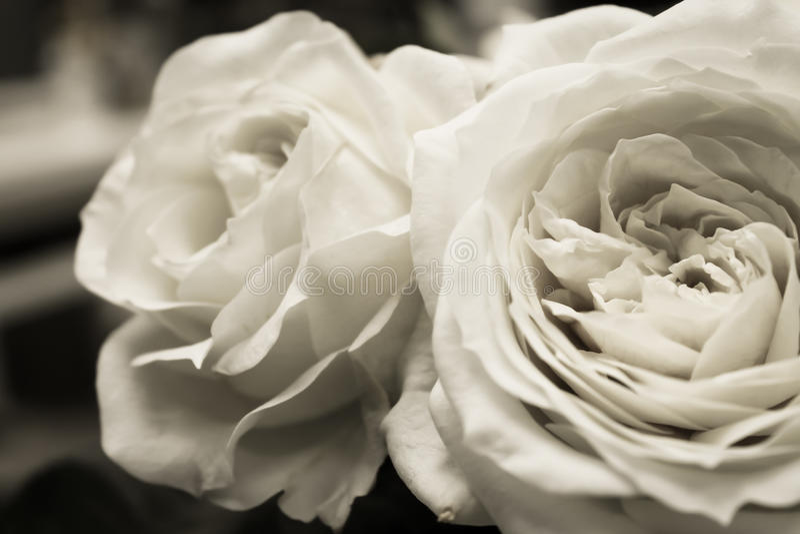 Rose bianche nere del giardino immagine stock