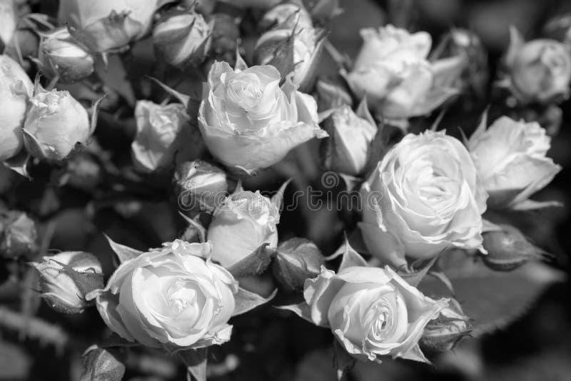 Rose in bianco e nero fotografia stock