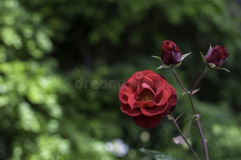 Rose blüht in einem botanischen Garten lizenzfreies stockbild