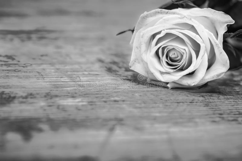 Rose - black and white artistic photography.  royalty free stock photography