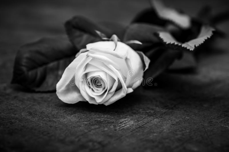 Rose - black and white artistic photography royalty free stock images