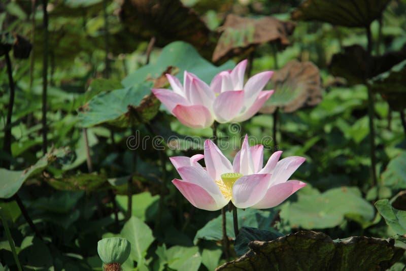 Rose blanc de floraison Lotus photo libre de droits