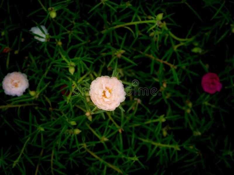 Rose blanc Mose-Rose Flower Blooming photos libres de droits