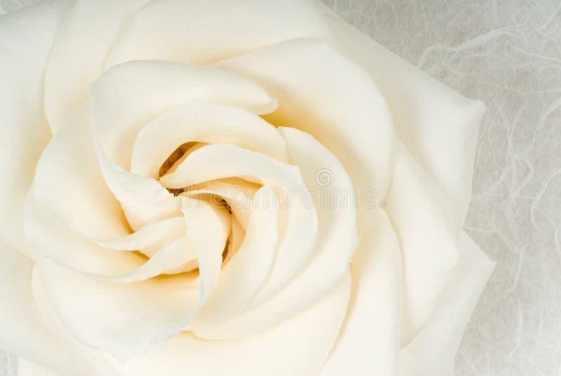 Rose blanca en el papel Textured fotografía de archivo libre de regalías