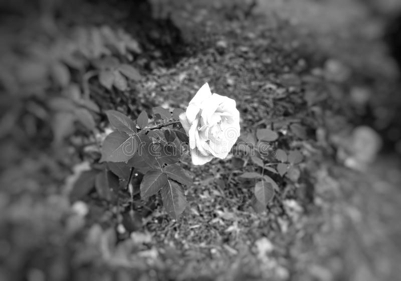 Rose blanca en fondo negro imagen de archivo