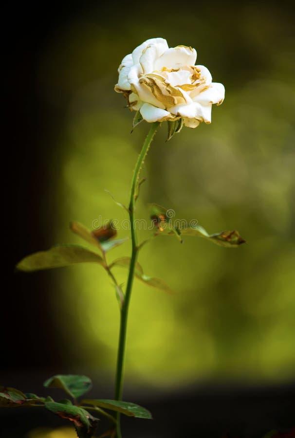 Rose blanche à la lumière du soleil d'or images libres de droits