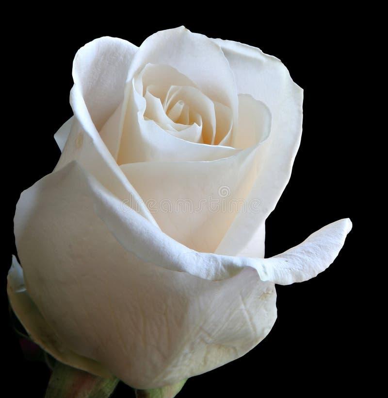 Rose blanche photo libre de droits