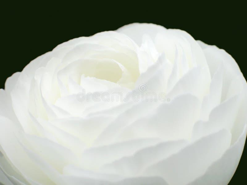 Rose blanche images libres de droits