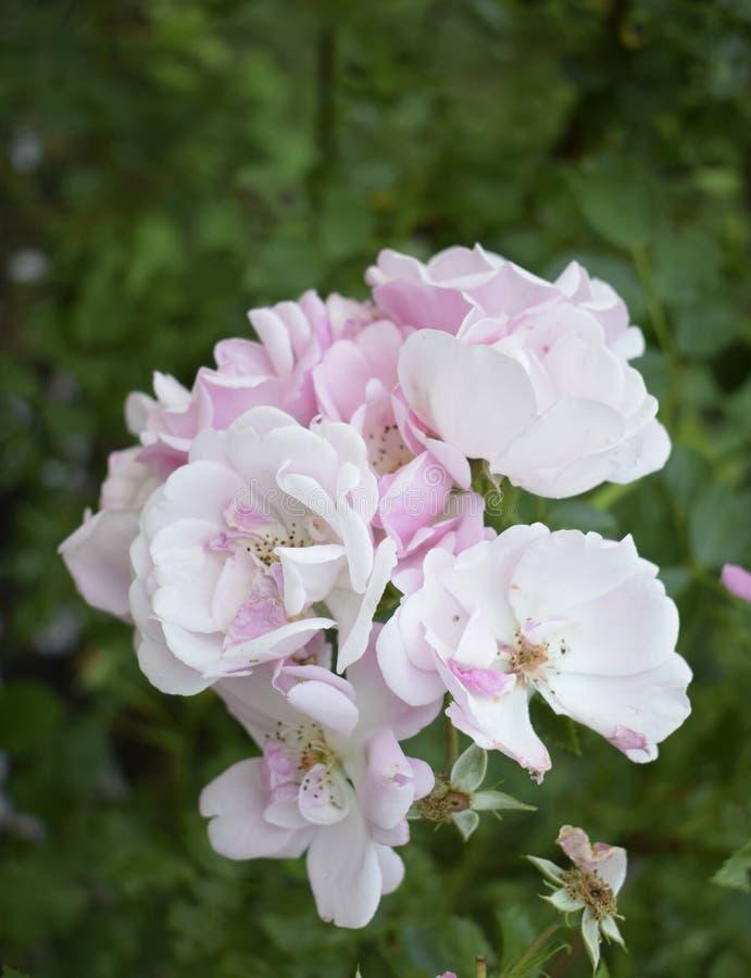 Bouquet Rose De Fleur Du Bel Anglais Sur Le Fond Blanc Image stock - Image du rose, anglais ...