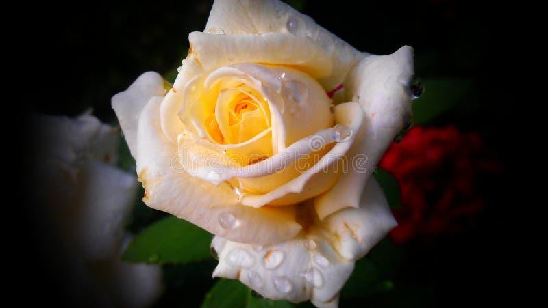 rose blanche en été avec des gouttes de pluie images libres de droits