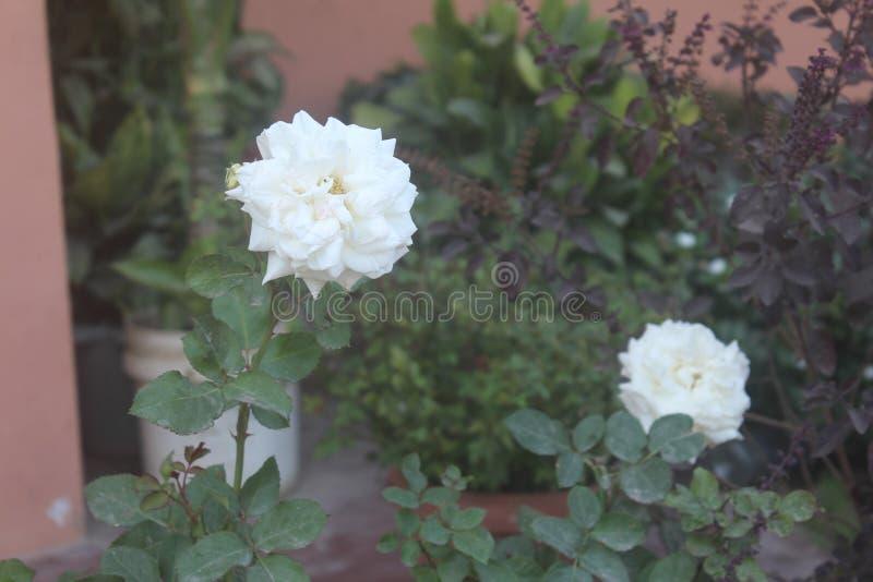 Rose blanche - prairie Rose photographie stock libre de droits
