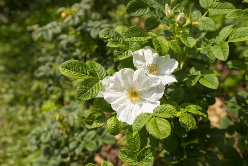 Rose blanche sauvage, fleur de Rosa Rugosa Alba Plena images stock