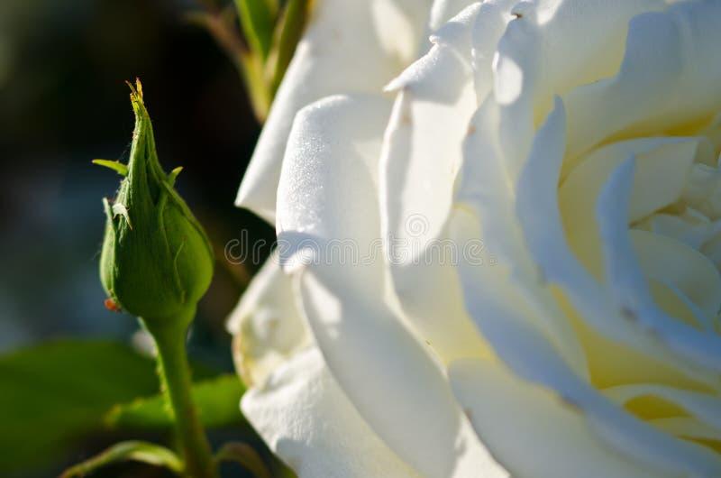 Rose Beside blanche sensible les possibilités du bourgeon récemment formé images stock