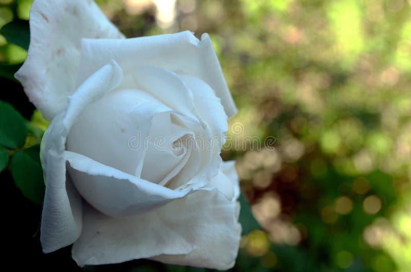 Rose blanche sur le fond brouill? photo libre de droits