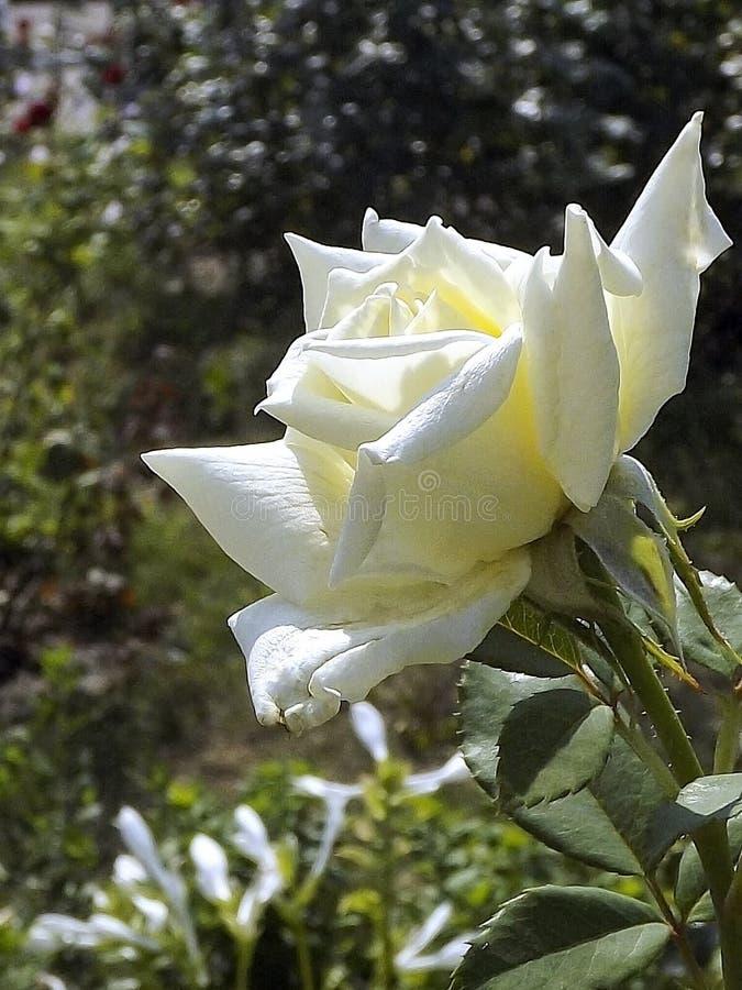 Rose blanche - une fleur d'admiration et d'adoration images libres de droits