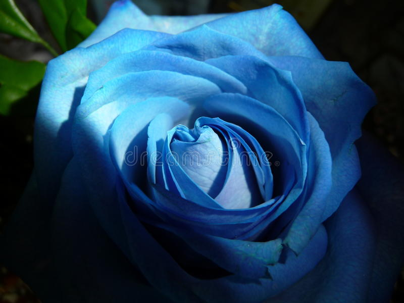 Rose bleue photographie stock libre de droits
