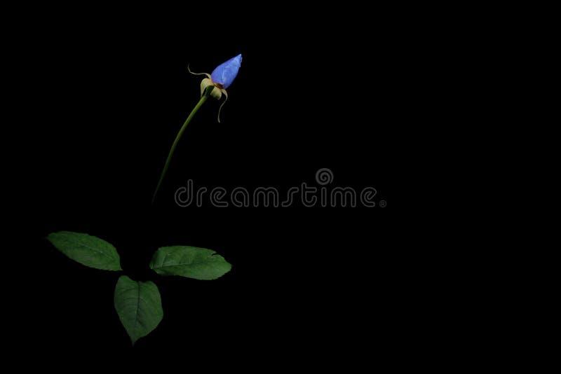 Rose bleue photos stock
