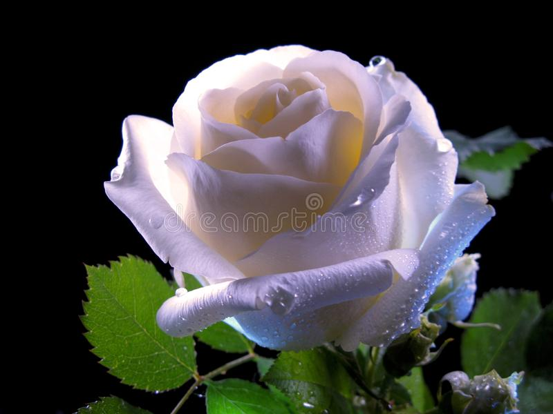 Rose Bloom In The Night blanche images stock