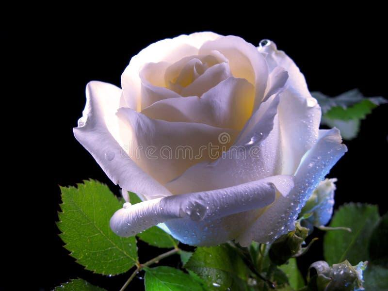 Rose Bloom In The Night branca imagens de stock
