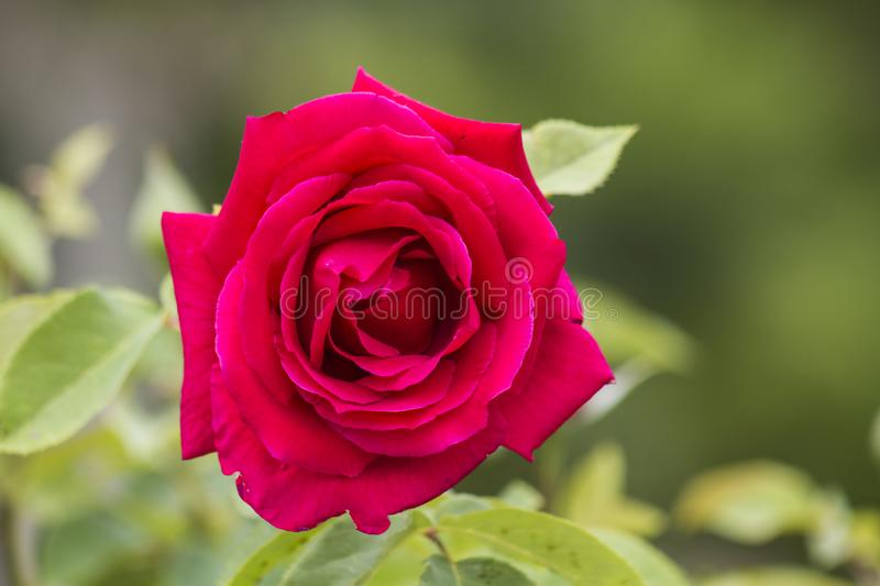 Rose bloomed in spring stock photos