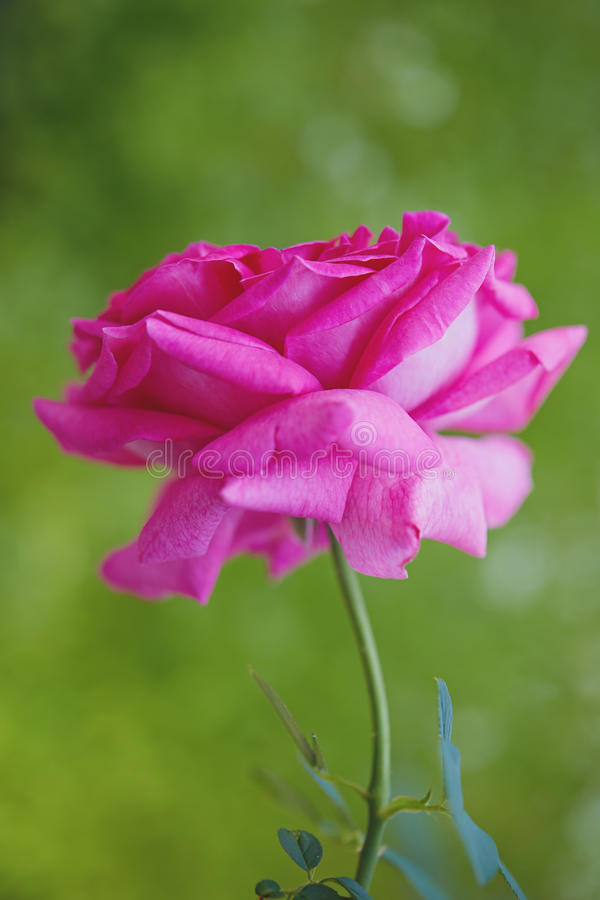 Rose Blooming Against Green Background cor-de-rosa foto de stock