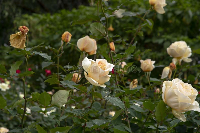 Rose blooms - creamy blush from bud to dead head. Rose blooms in garden - creamy blush from bud to dead head stock photos
