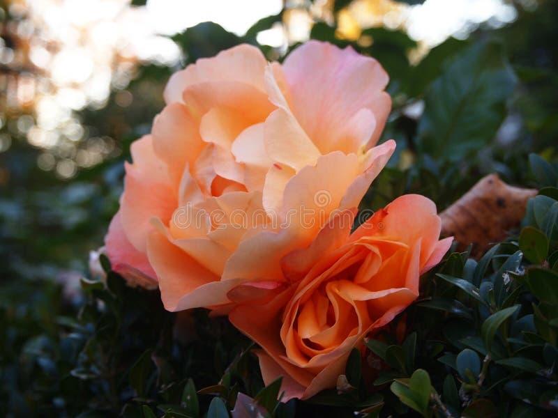 Rose Blossom fotografia stock libera da diritti