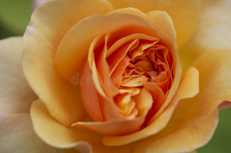 Download Rose Blossom stock photo. Image of gardening, blossom - 13371422