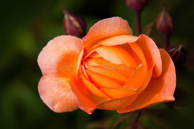 Rose Blossom Free Public Domain Cc0 Image
