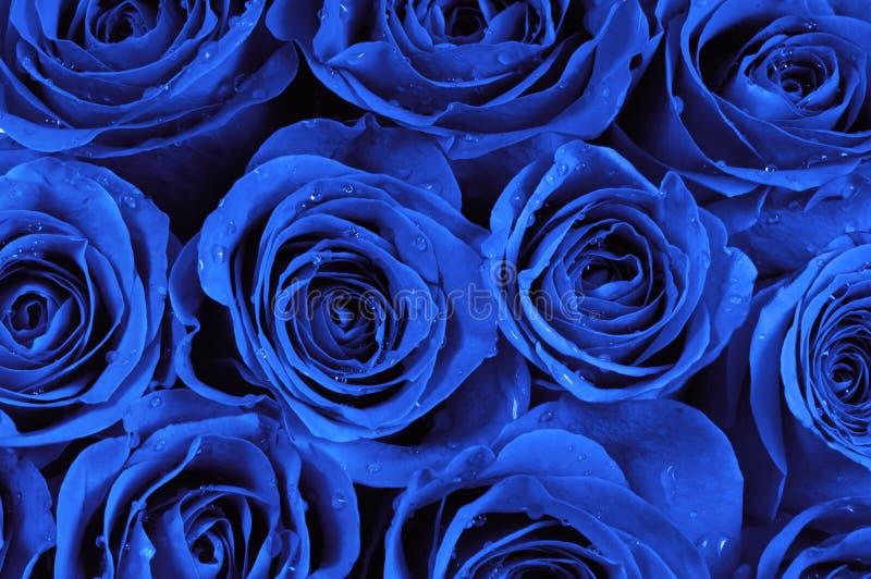 Rose blu fotografie stock libere da diritti