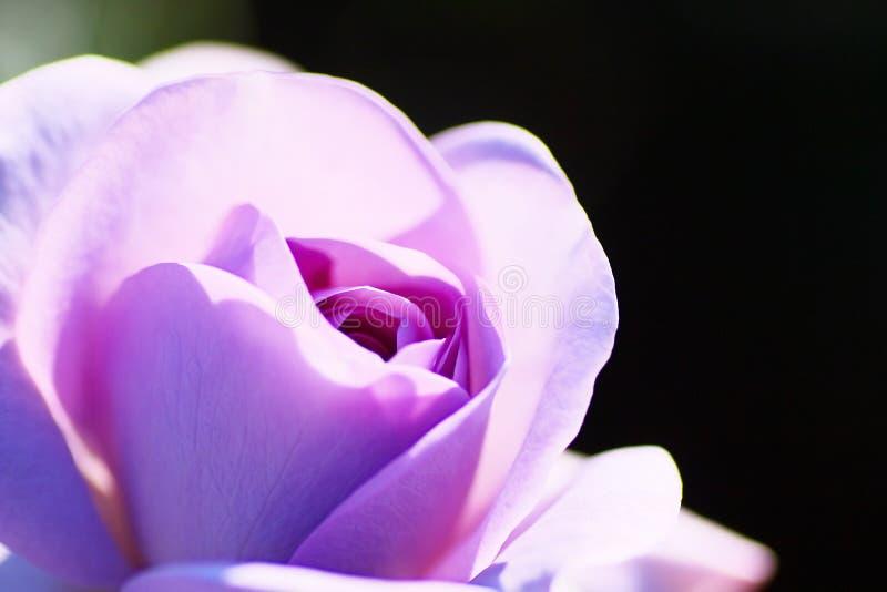 Rose Blue Bayou foto de archivo libre de regalías