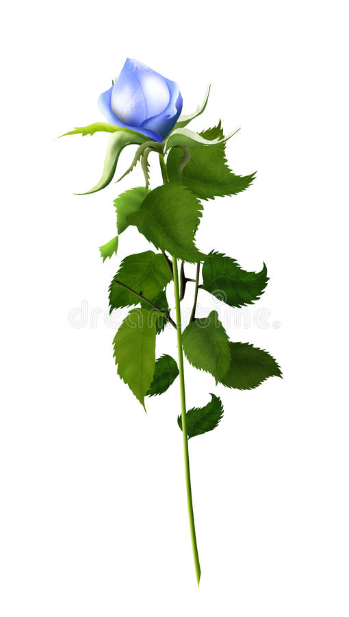 Rose blue isolated. On white background, illustration, vintage. Blue rose beautiful isolated on a white background, illustration, vintage. High resolution. For vector illustration