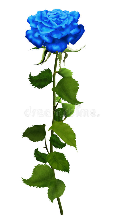 Rose blue isolated. White background, illustration, vintage Blue rose beautiful isolated on a white background, illustration, vintage. High resolution. For the vector illustration