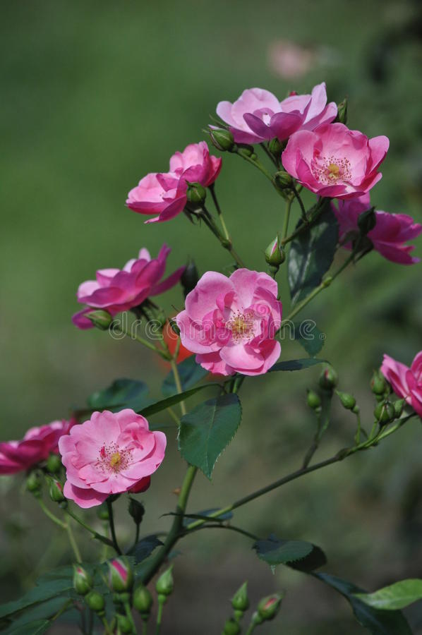 Rose, Blumen stockfoto