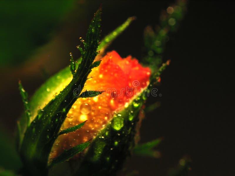 Rose blured dans la belle lumière photographie stock libre de droits