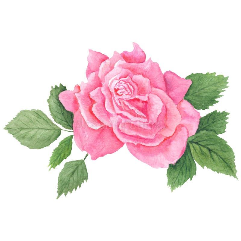 Download Rose Botanical Illustration Rosa Illustrazione di Stock - Illustrazione di bianco, arte: 56892144