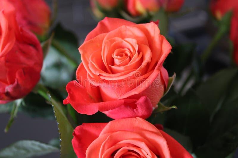 Rose Bouquet imagens de stock royalty free
