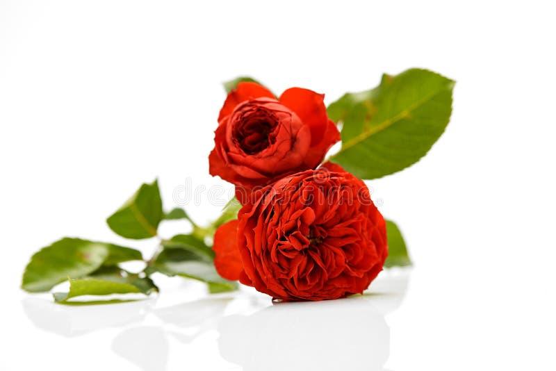 Rose Bouquet Against White Background immagini stock libere da diritti