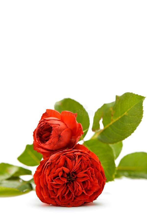 Rose Bouquet Against White Background fotografie stock libere da diritti
