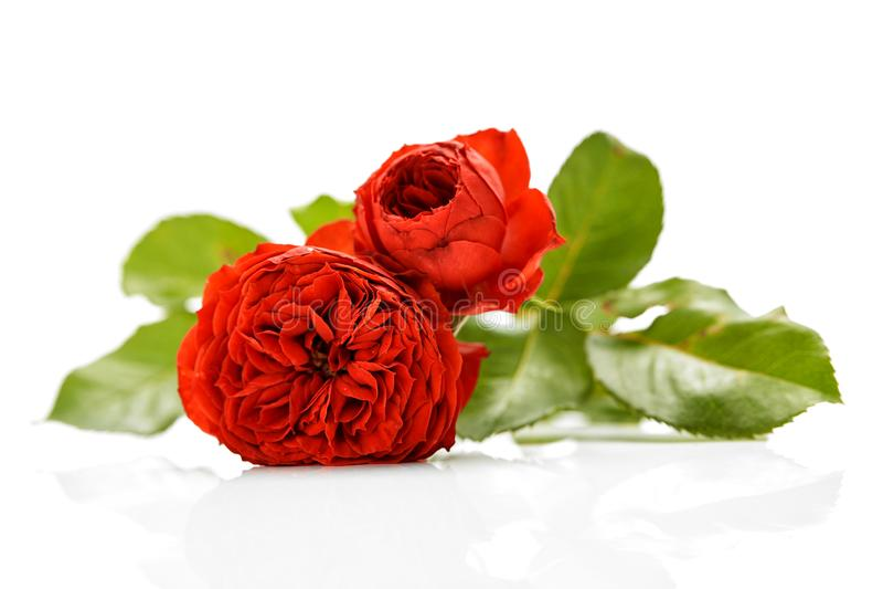 Rose Bouquet Against White Background fotografia stock libera da diritti