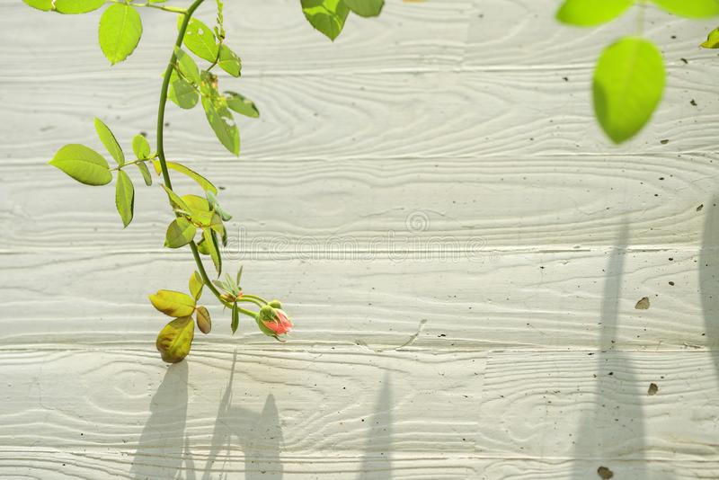 Rose plant on white wall with shadow royalty free stock images