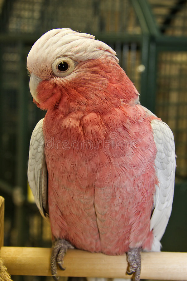Rose Breasted Cockatoo stock photography