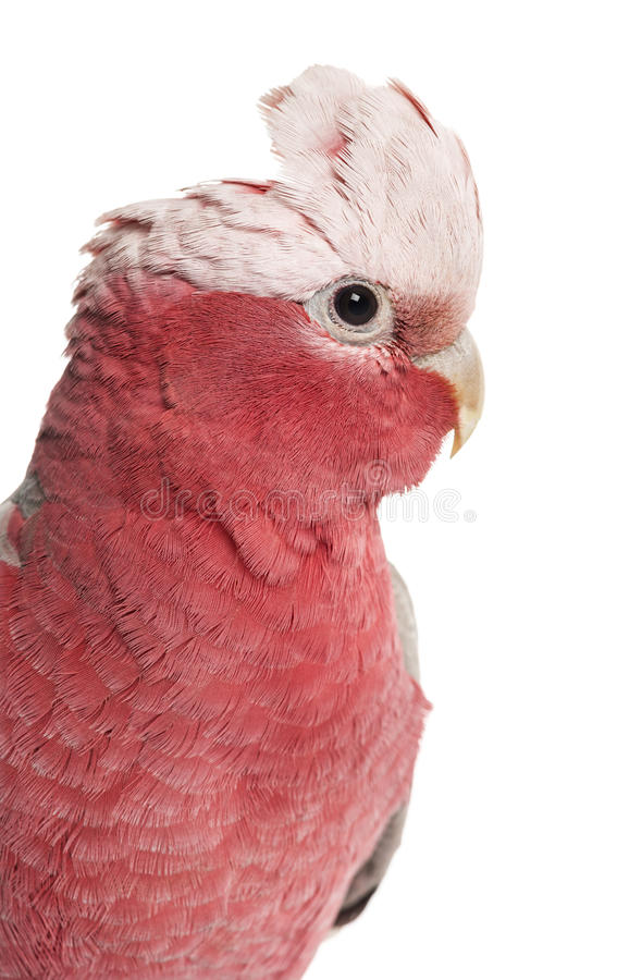 Rose-breasted Cockatoo (2 years old). Isolated on white royalty free stock image