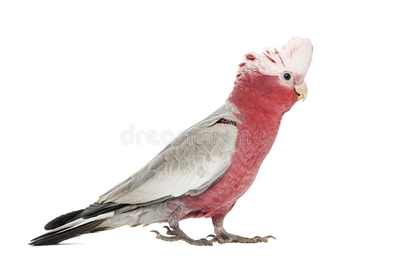 Rose-breasted Cockatoo (2 years old). Isolated on white stock photos