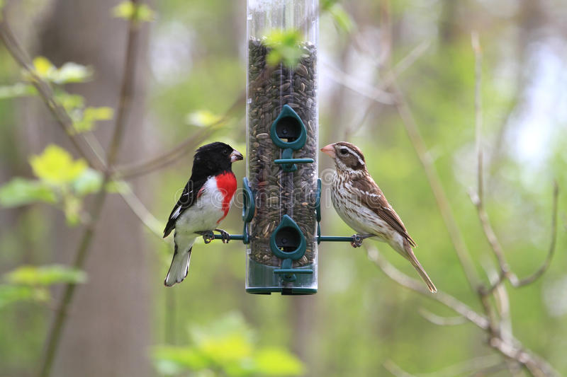 Rose-breasted Grosbeak male and female royalty free stock images