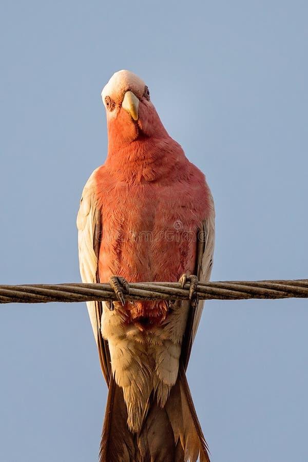 Rose Breasted Parrot Sitting On en tråd royaltyfri fotografi