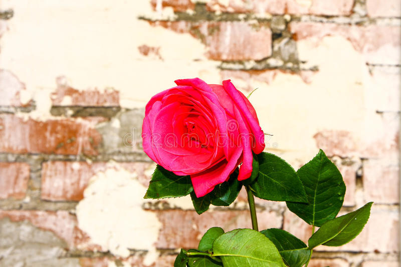 Rose on the bricks wall background royalty free stock photo