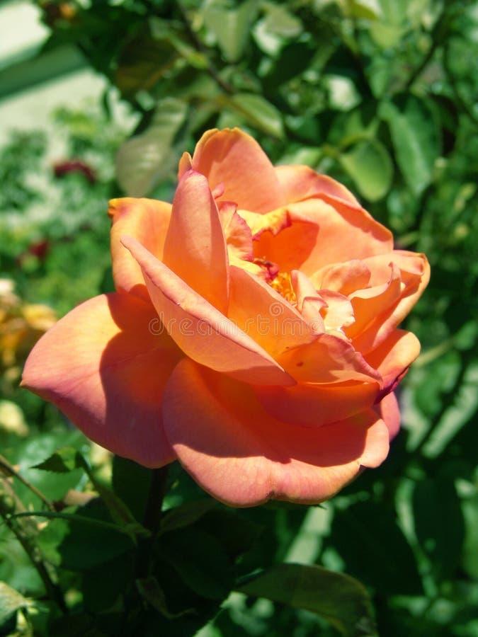 Rose Brzoskwiniowe Zdjęcia Royalty Free