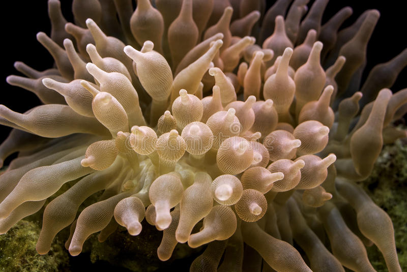 Rose Bubble Tipp Anemone stockfotografie