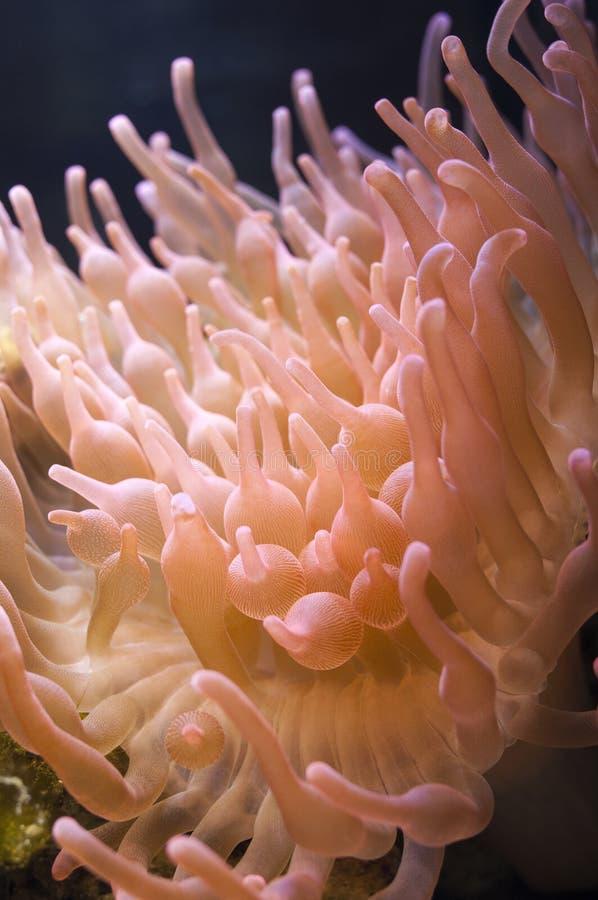 Rose Bubble Tipp Anemone lizenzfreie stockfotos